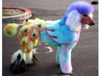 peacockpoodle